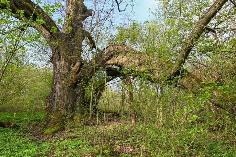 Strom ze Slezské byl zvolen Stromem hrdinou